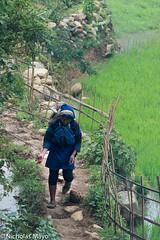 Black Hani Woman In The Rice Fields (Nick Mayo/RemoteAsiaPhoto) Tags: hani vietnam laocai paddy yty