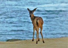 April2Image9817 (Michael T. Morales) Tags: deer ptpinos pacificgrove montereybay nature muledeer