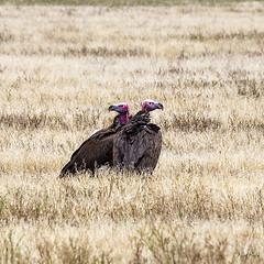 LAPPET-FACED VULTURE 1 (Nigel Bewley) Tags: lappetfacedvulture torgostracheliotus tanzania africa wildlife nature wildlifephotography nigelbewley photologo appicoftheweek safari gamedrive march march2019