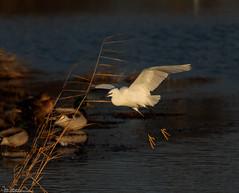 Little Egret at first light (Steve (Hooky) Waddingham) Tags: animal planet countryside coast bird british wild wildlife water rutland