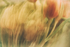 Layers of Spring (flashfix) Tags: april052019 2019inphotos flashfix flashfixphotography ottawa ontario canada nikond7100 40mm tulip floral multiexposure textures lines nature yellow pink soft repetition