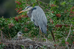 What a cutie pie (ChicagoBob46) Tags: greatblueheron heron chick bird veniceareaaudubonrookery rookery florida nature wildlife coth ngc naturethroughthelens coth5 npc