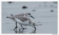Jours de grève : Bécasseau sanderling. (C. OTTIE et J-Y KERMORVANT) Tags: nature animaux oiseaux limicoles bécasseau bécasseausanderling finistère côtedeslégendes bretagne france