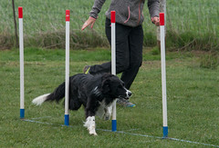 Agility. (musette thierry) Tags: animaux agility chien border musette thierry jeux course dog