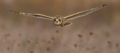 SE Owl Hunting (Dale Ayres) Tags: