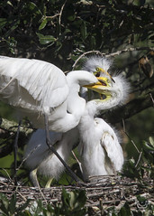 Feeding Time IMG_2534 (Nature Photos by Scott) Tags: bird birds birding nature wild florida wildlife scotthelfrichphotography scotthelfrich nesting babies baby eggs rookery art family canvas
