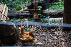 (MANVEL⋅PALERMO⋅MARSIGLIA) Tags: dog chicken hen chickencoop henhut