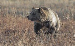 Blondie (agnish.dey) Tags: bear grizzlybear wildlife wilderness naturallight nature naturephotograph nikon naturethroughthelens nationalpark wyoming yellowstone grandtetonnationalpark
