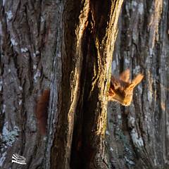Squirel / écureuil roux (http://www.jeromlphotos.fr) Tags: redsquirrel écureuil canon eos 7d 150600 nature natural arbre trees roux régioncentre olivet bordduloiret 45
