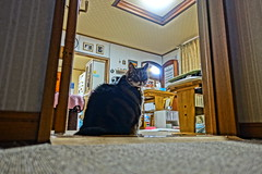 Tigger: Guardian of the Door (sjrankin) Tags: 18january2019 edited kitahiroshima hokkaido japan hdr animal cat livingroom tigger door aisle table light