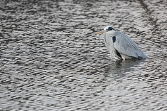 Cold day (Teruhide Tomori) Tags: nature bird wild kyoto japan japon hirosawanoike pond winter animal greyheron アオサギ 野鳥 広沢池 京都 冬 鳥 動物 野生 日本