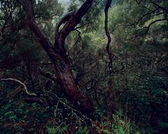 Branches (JaZ99wro) Tags: exif4film green provia100f e6 forest tetenal3bathkit tree plustekopticfilm120 pentax67ii madeira analog f0365 film