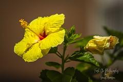 Hawaiian Hibiscus ~ maʻo hau hele (Freshairphotography by Janis Morrison) Tags: hawaiianhibiscus~maʻohauhele hawaiian hawaii stateflower hawaiianhibiscus flower floweringshrub mauihawaii maui ilovemaui tropical tropicalflower yellow yellowflower stateflowerofhawaii colorful delicate nature naturesart