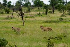 Lion, Satara, Kruger National Park, Jan 2019 (roelofvdb) Tags: 2019 carinvores date january knp lion place satara southernafricanmammals year car06