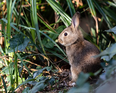 _M4A2045 (sam-reeves) Tags: essex warleyplace nature animal rabbit spring
