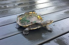 A Turtle out of Water (simonmgc) Tags: park shell turtle