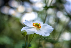 Japanese Anemone (jenni 101) Tags: 100xflowers flowersplants nikond7200 sigmaart18 victoria williamstown williamstownbotanicalgardens anemone bright flower japaneseanemone photographybyjen pretty withthefff