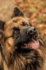 Batman, German Shepherd (meganjenks) Tags: germanshepherd lightroom clientphotography client dogs dog 50mm canon1300d canonphotography canonphotographer canon