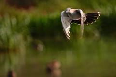 Crested Pigeon (Rodger1943) Tags: australianbirds sonyrx10m4 pigeons crestedpigeon birdsinflight faunainmotion