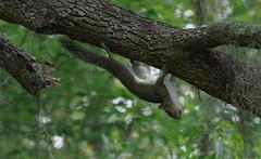 Defying Gravity (jameskirchner15) Tags: squirrel easterngraysquirrel sciuruscarolinensis gravity upsidedown pentax florida bokeh telephoto nature animal rodent thesunshinestate