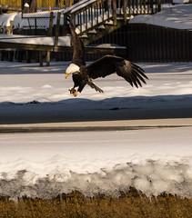 bald_eagle_dam-9365-2 (pjh2000) Tags: baldeagle foxriver algonquin illinois winter ice river dam bird birding birdwatching canon7dmarkii