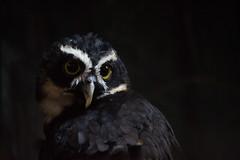 Spectacled Owl (Rackelh) Tags: owl bird animal mammal dark zoo toronto ontario canada