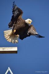 Bald Eagle Takes Flight (Dandy_Andy) Tags: eagle baldeagle bird raptor talons birdofprey