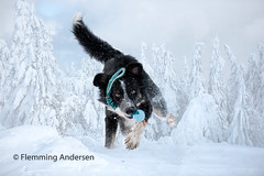 snowgame (Flemming Andersen) Tags: animal bordercollie frisbee outdoor snow dog nature pet trojanovice moraviansilesianregion czechrepublic cz