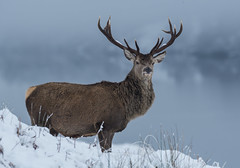 Red Stag 2019-8500030 (seandarcy2) Tags: wild wildlife handheld scotland the highlands winter 2019 uk stag redstag mountains