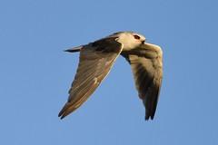 Black-winged Kite  (Elanus caeruleus) (Ian N. White) Tags: elanuscaeruleus blackwingedkite pandamatenga botswana