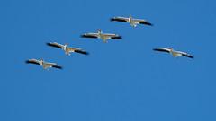 Pelican Platoon 8005 (maguire33@verizon.net) Tags: americanwhitepelican bif pelecanuserythrorhynchos pradoregionalpark whitepelican pelican wildlife