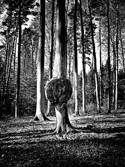 Bildstörung (Maquarius) Tags: baumkrebs buchenwald buche wucherung natur