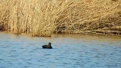 DSCN8293 oiseau aquatique 04 (lac canard chipeau plonge plante des marais) Montesson (jeanchristophelenglet) Tags: montessonfranceparcdépartementaldelaboucledemontessonétangdel'epinoche laceau lakewater lagoagua canardchipeau gadwall frisada