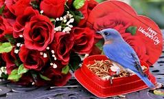 Happy Valentine's Day DSC_7039 (blthornburgh) Tags: valentinesday valentine roses mealworms bluebird theeasternbluebirdsialiasialis thornburgh nature thursday backyard outdoors tampa florida sunshinestate