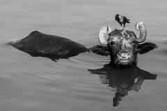 Hitchin' a Ride, Varanasi (Geraint Rowland Photography) Tags: 40mm canon india varanasi comedy timing patience riding bird bull cow horns face buffalo cows herd water river theganges wwwgeraintrowlandcouk bw