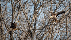 UnfriendlyBanter (jmishefske) Tags: mature 2019 bald tree nikon necedah roosting sitting d500 dam bird february petenwell eagle wisconsin talking