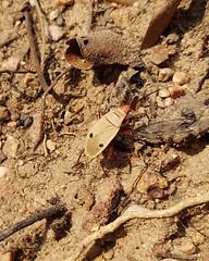 Bug a1 (SierraSunrise) Tags: animals bugs esarn hemiptera insects isaan parks phuphrabat thailand udonthani