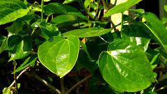 Sirih / Betel (setiawanap) Tags: setiawanap setiawanapvlog indonesia tanaman tumbuhan daun bunga buah batang plants tree leaf flower fruit sirih betel betle