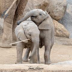 Zuli and Mkhaya (ToddLahman) Tags: zuli umzulazuli mkhaya escondido eyelock elephants elephantvalley elephant elephantbaby africanelephant beautiful baby outdoors mammal sandiegozoosafaripark safaripark portrait photography photooftheday photographer nikond500 nikonphotography nikon