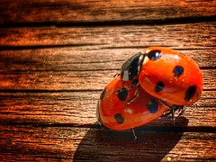spring is in the air (Andy Stones) Tags: macro ladybirds insects nature naturephotography naturelovers natureseekers feelslikespring image imageof imagecapture photography photoof
