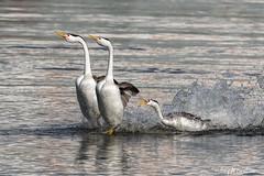 Gonna bite your butt!!! (Hilary Bralove) Tags: clark'sgrebes grebes oregon birds pacificnorthwest wildlife nikon wildbirds birder