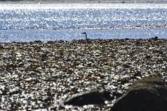 Robin Hood's Bay (106) (rs1979) Tags: greyheron heron robinhoodsbay northyorkshire yorkshire beach rockyforeshore