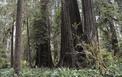 ...(scale)... (dylanawol66) Tags: trees redwoods forest scale giant california usa northamerica dense unlimitedphotos ferns wood path trail undergrowth jungle jurassic dinosaur