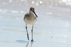 willet on the beach (Mel Diotte) Tags: