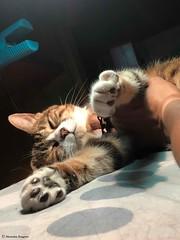 lili-trop-belle© (alexandrarougeron) Tags: photo alexandra rougeron chat chatte bébé poilue animal sauvage felin chou beauté flickr lili loulou poupouce