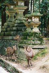 Blurry Peak-a-boo (GingerKimchi) Tags: nara osaka japan travel nature asia film 35mm fujifilm canon deer canona1 2019 spring february march
