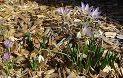 "… kaum ist der Schnee geschmolzen (warata) Tags: 2019 blume blüte pflanze nature outside landscape garden ""sony dschx400v"""