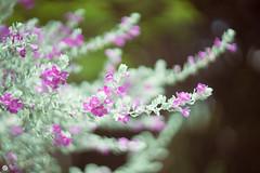 Helios-40 85mm f1.5 (cimsunf0702) Tags: helios 85mm f15 flower pretty beautiful leaves vintage mf lenses violet romance swirl
