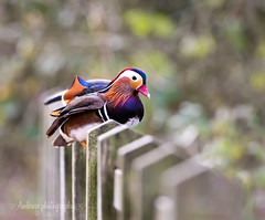On the fence - explore 6/3/19 #96 (~ **Barbara ** ~) Tags: mandarin duck drake wildlife wildbird naturereserve northamptonshire uk canon7dii explored