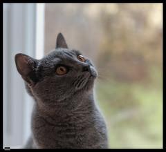 Ursus (1) (***RM***) Tags: kartouzská kočka cat cats animals portrait indoor nikon d850 nikkor 2470mm georglouisleclercdebuffon exotic mazlíček kočkadomácí chovatel feliscatus french francaise chartreux